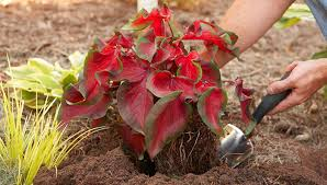grow caladiums from tubers