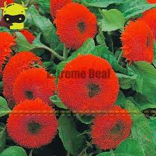 teddy sunflowers thail import fiery teddy sunflower flower seeds 20 seeds