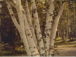 birch tree wrapping paper trees