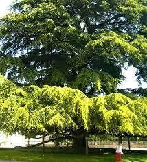 file cypress tree in tours jpg wikimedia commons
