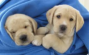 How Does A Guide Dog Help A Blind Person The History Of Guide Dogs For The Blind Telegraph