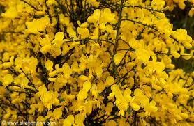 yellow flowers photo of bright yellow flowers blooming on shrubs scattered