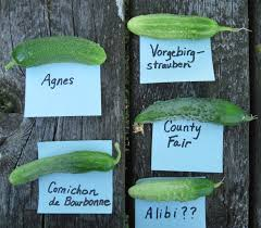 cucumbers for pickling they u0027re not all alike a gardener u0027s table