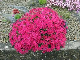 Rock Garden Plants Uk Alpine Plants For A Rockery Phlox Douglasii Admiral