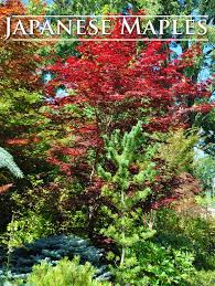 growing and care for japanese maples hometalk