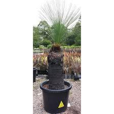 xanthorrhoea johnsonii grass tree black boy 45cm to 55cm trunk