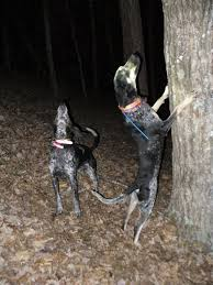 bluetick coonhound forums ukc forums estep u0027s big game and coon hounds