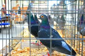forget the melbourne cup how about pigeon racing abc news