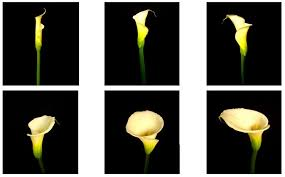 Image Of Calla Lily Flower - flower glossary calla lilies proflowers blog