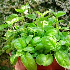 Bonnie Plants Patio Tomato Bonnie Plants 4 5 In Basil Sweet Plants Front Yards And Basil