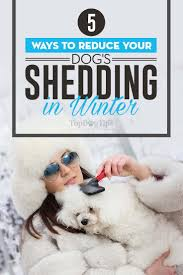 Do All Short Haired Dogs Shed by Best 25 Dog Shedding Ideas On Pinterest Itchy Dog Remedies Dog