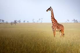 Tropical Savanna Dominant Plants - savanna biome climate locations and wildlife