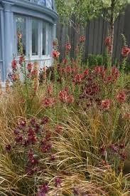 anemanthele lessoniana verbascum aquilegia bronze fennel taxus