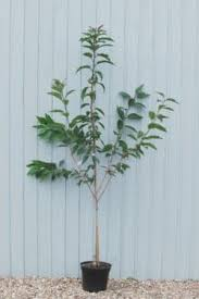 cherry plants ornamental trees shrubs