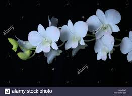 Flower Of Orchid - white flower of orchid on black background stock photo royalty