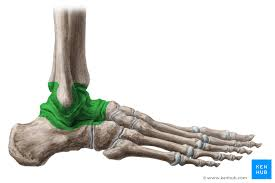 Lateral Collateral Ligament Ankle Ankle Anatomy Function And Movements Kenhub
