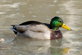 image result for mallard ducks in the snow nature creatures