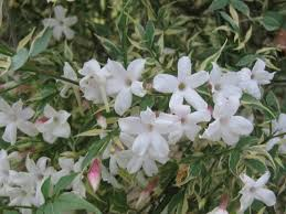 Which Jasmine Plant Is Most Fragrant - pacific horticulture society hardy fragrant jasmine
