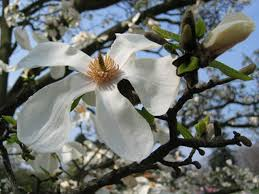 the symbolism of the magnolia flower hunker