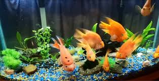 Decoration Of Fish Tank My Beautiful Blood Red Parrots New Aquarium Decorations Youtube