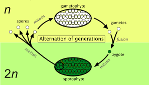 Where Is The Pollen Produced In A Flower - alternation of generations wikipedia