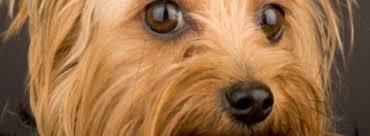 best dog food for yorkies u2013 keeping your dog healthy