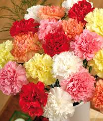 carnation flowers birth flowers carnation flower facts information and meaning