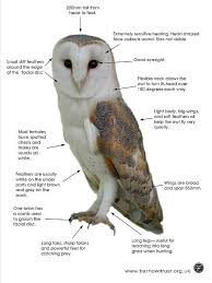 Scientific Name Of Barn Owl Barn Owl Facts All You Need To Know About Barn Owls
