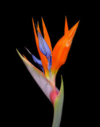 bird of paradise flower this the only bird of paradise flower which wasn t dying already