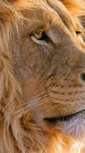 male lion wallpapers animals wallpapers hd 1080p group 80