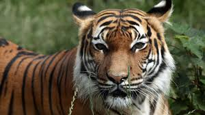 intoxicated woman breaks into zoo tries to pet tiger gets bitten