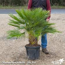 mediterranean fan palm tree chamaerops humilis for sale uk hardy palm tree big plant nursery