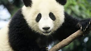 777755 color wallpapers page 7 baer panda baby cute bears pandas