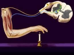 Describe A Reflex Action Central Nervous System Reflex Arc Youtube