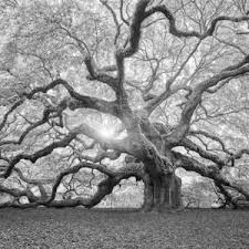 trees black and white photography artwork for sale posters and