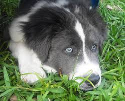 bearded collie x border collie puppies for sale memphis blues the blue eyed puppy adopted the dog liberator