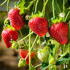 strawberry adina garden express