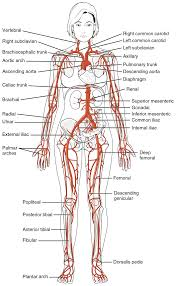Anatomy Of Human Body Organs This Diagrams Shows The Major Arteries In The Human Body