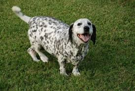 4 australian shepherd x dalmation 10 heart melting basset hound mix breeds to aww over