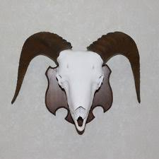 horns for sale ram horns antlers ebay