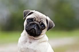 Sad Pug Meme - 12 adorably sad pugs going through an existential crisis