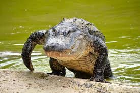 10 year old escapes jaws of alligator with shrewd moves