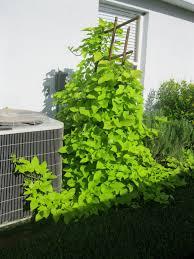 low trellis with sweet potato vine to cover cement garden ideas