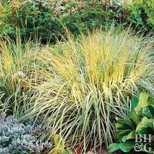 easy ornamental grasses