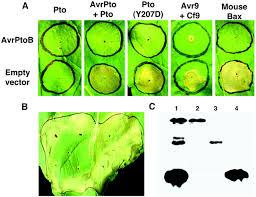 Plant Disease Journal - pseudomonas type iii effector avrptob induces plant disease