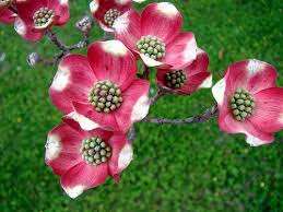 dogwood flowers beautiful flowers dogwood flowers pictures meanings