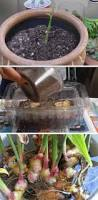 best 25 growing ginger ideas on pinterest grow supplies