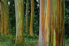 Rainbow Eucalyptus Eucalyptus Deglupta Seeds Rainbow Eucalyptus Mindanao Gum