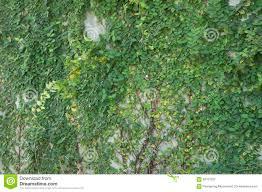 coatbuttons mexican daisy plant wall climb tree concept stock