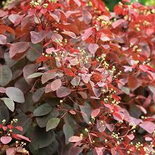 euphorbia cotonifolia ornamental shrubs exoticflora